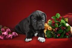 Italiano Cane Corso della razza del cucciolo Immagini Stock Libere da Diritti