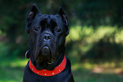 Italiano del corso del bastón de la raza del perro Imagenes de archivo