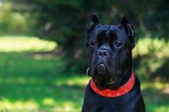 Italiano do corso do bastão da raça do cão imagens de stock