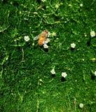 Italiano Honey Bee en las flores blancas minúsculas en musgo verde como hierba corta, detalle macro asombroso del primer en color Imagenes de archivo