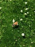 Italiano Honey Bee en las flores blancas minúsculas en musgo verde como hierba corta, detalle macro asombroso del primer en color Foto de archivo