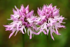 Italica de Orchis, orquídea desnuda del hombre, Gargano en Italia Orquídea salvaje terrestre europea floreciente en hábitat de la Fotos de archivo libres de regalías