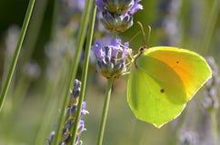 Italica Gonepteryx Kleopatra Schmetterling lizenzfreie stockbilder