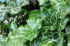 Italicum Arum, ιταλικό snakeshead, ιταλικές Λόρδος-και-κυρίες Στοκ φωτογραφίες με δικαίωμα ελεύθερης χρήσης