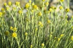 Italicum do Helichrysum (angustifolium do Helichrysum) Foto de Stock Royalty Free