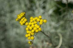 Italicum do Helichrysum na flor, grupo amarelo arredondado de flores pequenas fotos de stock