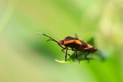 Italicum Graphosoma Στοκ Φωτογραφίες