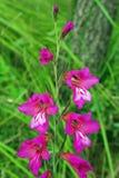 Italicus di gladiolo, il gladiolo italiano, membro dell'iridaceae delle iridacee Fotografie Stock