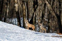 Italicus italiano di canis lupus dei lupi Immagini Stock