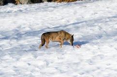 Italicus italiano di canis lupus del lupo Fotografie Stock Libere da Diritti