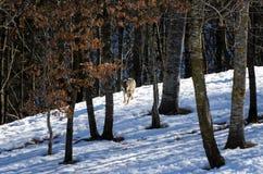 Italicus italiano di canis lupus del lupo Fotografie Stock