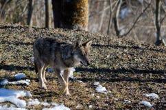 Italicus italiano di canis lupus del lupo Fotografia Stock Libera da Diritti