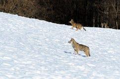 Italicus italiano do lúpus de canis dos lobos fotos de stock
