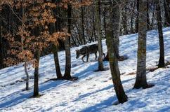 Italicus italien de lupus de canis de loup Photo stock