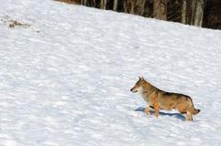 Italicus italien de lupus de canis de loup Image libre de droits