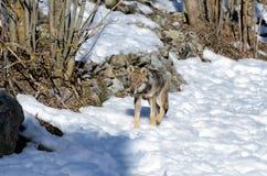 Italicus italien de lupus de canis de loup Photographie stock libre de droits