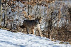 Italicus italien de lupus de canis de loup Photographie stock