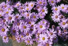 Italien d'aster (amellus d'aster) Photographie stock