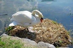 Italien, Lombardei, Adda-Fluss, ein Schwan schmiegt sich sein Ei an Stockfotografie