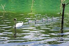 Italien, Lombardei, Adda-Fluss, Schwan mit Küken Lizenzfreie Stockfotos