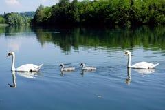 Italien, Lombardei, Adda-Fluss, Schwan mit Küken Lizenzfreie Stockfotografie
