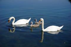 Italien, Lombardei, Adda-Fluss, Schwan mit Küken Lizenzfreies Stockfoto