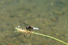 Italien, Lombardei, entlang dem Adda-Fluss, Libelle, die auf Blume aufwirft Stockfoto