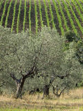 Italien olivgrön tree i Tuscanyen Arkivbild