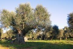 Italien Puglia region, s?der av landet Traditionell koloni av olivtr?d royaltyfria foton