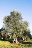 Italien Puglia region, s?der av landet Traditionell koloni av olivtr?d fotografering för bildbyråer