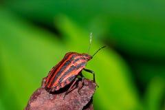 Italien rayé de macro insecte d'insecte Photos stock