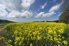 Italien, Toskana, Grosseto, Pian Alma, Panoramablick von einem auf dem Feld angebauten mit Canola stockfotografie