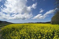 Italien, Toskana, Grosseto, Pian Alma, Panoramablick von einem auf dem Feld angebauten mit Canola lizenzfreie stockbilder