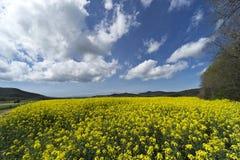 Italien, Toskana, Grosseto, Pian Alma, Panoramablick von einem auf dem Feld angebauten mit Canola stockbild