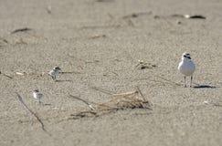 Italien Toskana Maremma, auf dem Strand in Richtung zum Mund von Ombrone, drei-ausgewichener Flussuferl?ufer des Calidris alba, K stockfotografie