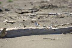 Italien Toskana Maremma, auf dem Strand in Richtung zum Mund von Ombrone, drei-ausgewichener Flussuferl?ufer des Calidris alba, K lizenzfreie stockfotos