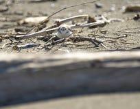 Italien Toskana Maremma, auf dem Strand in Richtung zum Mund von Ombrone, drei-ausgewichener Flussuferl?ufer des Calidris alba, K lizenzfreie stockfotografie
