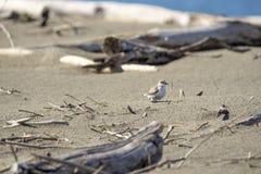 Italien Toskana Maremma, auf dem Strand in Richtung zum Mund von Ombrone, drei-ausgewichener Flussuferl?ufer des Calidris alba, K stockbilder