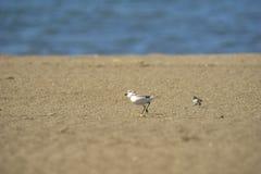 Italien Toskana Maremma, auf dem Strand in Richtung zum Mund von Ombrone, drei-ausgewichener Flussuferl?ufer des Calidris alba, K lizenzfreies stockbild