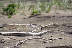 Italien Toskana Maremma, auf dem Strand in Richtung zum Mund von Ombrone, drei-ausgewichener Flussuferl?ufer des Calidris alba, K lizenzfreie stockbilder