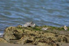 Italien Toskana Maremma, auf dem Strand in Richtung zum Mund von Ombrone, drei-ausgewichener Flussuferl?ufer des Calidris alba, K stockfotos