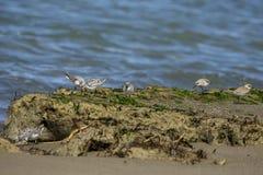 Italien Toskana Maremma, auf dem Strand in Richtung zum Mund von Ombrone, drei-ausgewichener Flussuferl?ufer des Calidris alba, K lizenzfreies stockfoto