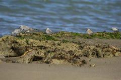 Italien Toskana Maremma, auf dem Strand in Richtung zum Mund von Ombrone, drei-ausgewichener Flussuferl?ufer des Calidris alba, K stockfoto