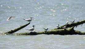 Italien Toskana Maremma, auf dem Strand in Richtung zum Mund von Ombrone, Seevögel stehen auf einem Baumstamm im Meer still stockfotos
