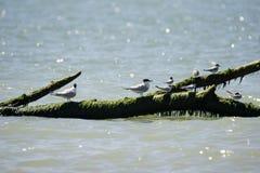 Italien Toskana Maremma, auf dem Strand in Richtung zum Mund von Ombrone, Seev?gel stehen auf einem Baumstamm im Meer still stockfotografie