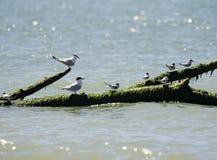 Italien Toskana Maremma, auf dem Strand in Richtung zum Mund von Ombrone, Seev?gel stehen auf einem Baumstamm im Meer still lizenzfreies stockfoto