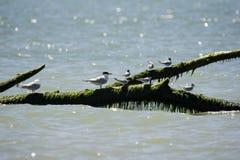 Italien Toskana Maremma, auf dem Strand in Richtung zum Mund von Ombrone, Seev?gel stehen auf einem Baumstamm im Meer still stockfoto