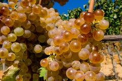 Italien Tuscany, Bolgheri dal, vingård, vindruva arkivfoto