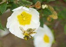 Italien Tuscany maremma, medelhavs- skog, l?sa blommor f?r romneya med att pollinera bin fotografering för bildbyråer