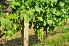 Italien utmärkta Viognier druvor Arkivbild